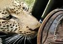 豹子钟情游客的鞋子