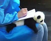 熊猫宝宝秒变小桌子